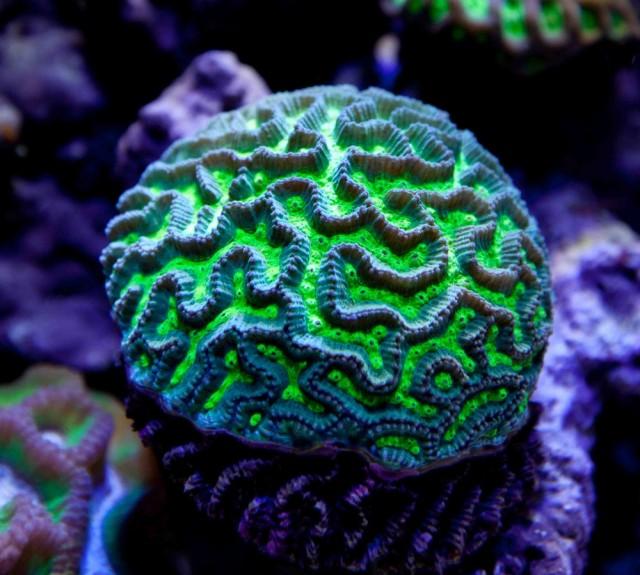 Platygyra daedalea - reefs