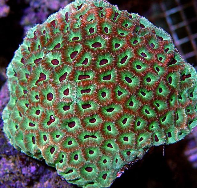 Platygyra russelli - reefs