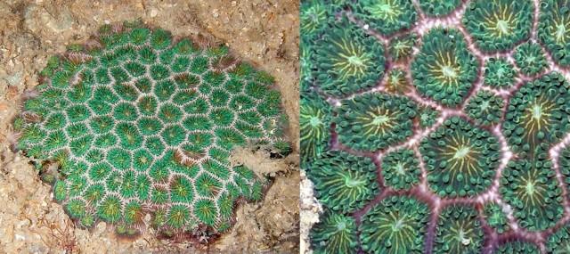 Pseudosiderastrea tayami - reefs