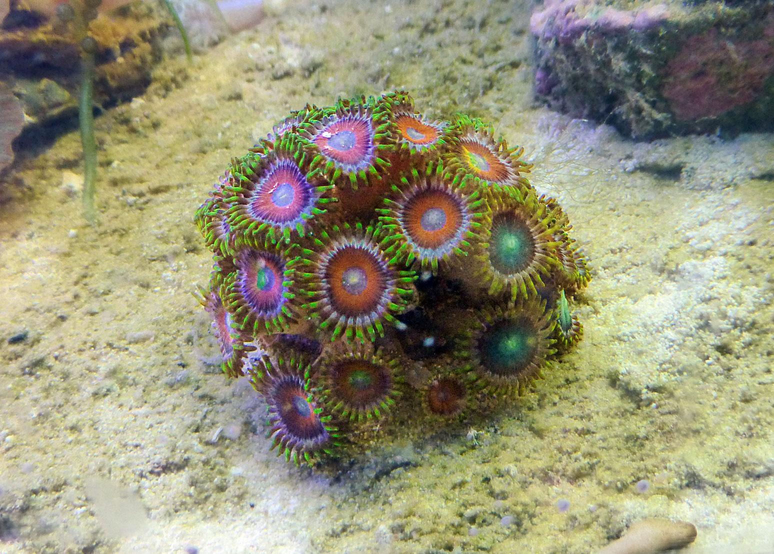 Dragon's Eye Coral