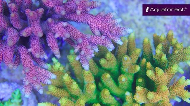 aquaforest-coral-1-reefs-e1443651293150.