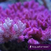 aquaforest coral 2 - reefs