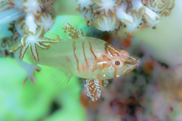 Hyaline Cardinalfish Foa hyalina Źródło: Don Tacos