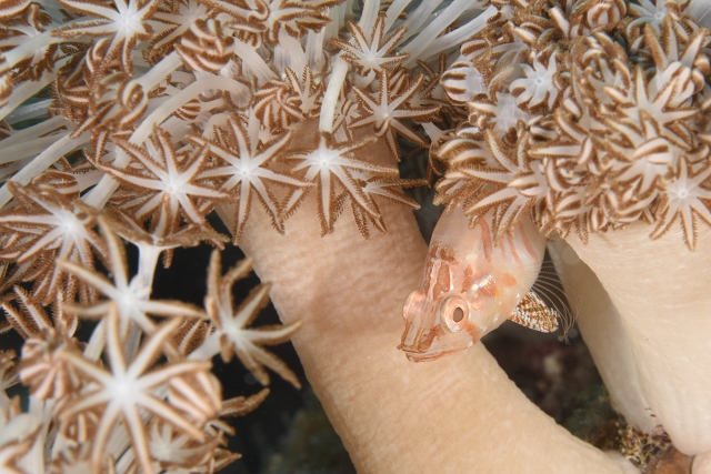 Hyaline Cardinalfish Foa hylaina マンぶーン
