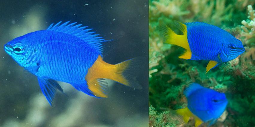 An apparent hybrid of C. arnazae and giti, from Lembeh. Credit: risingmoon and Masamichi Torisu