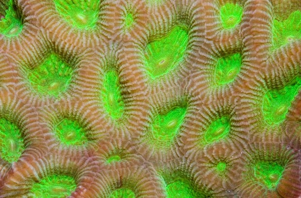 Identification And Evolution Of Closed Brain Corals Part 1 Reefscom