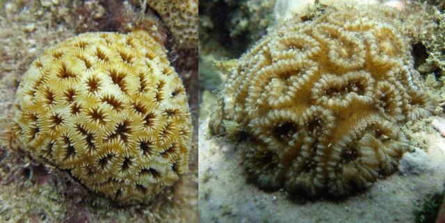 favia fragum - reefs