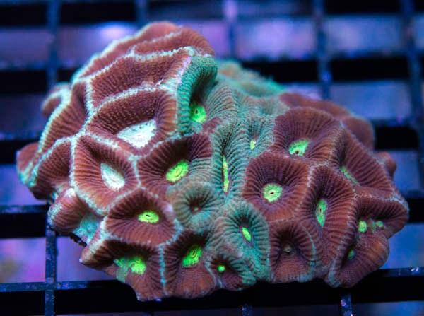 favites pentagona - reefs