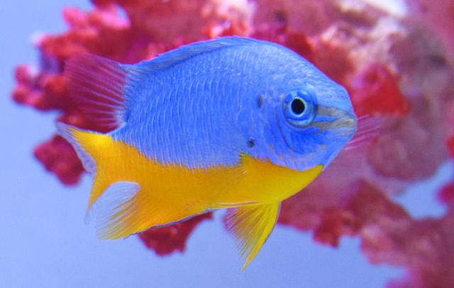 C. hemicyanea, aquarium specimen. Credit: Aquarent