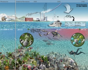 Illustration of the effects of increasing carbon dioxide in the ocean.  The burning of fossil fuels for energy production, manufacturing, and transportation has driven the level of carbon dioxide in the atmosphere to levels 30% greater than prior to the industrial revolution. Higher atmospheric levels of carbon dioxide have resulted in increasing amounts of carbon dioxide dissolving in the ocean. As shown in the chemical formulas in this illustration, when carbon dioxide (CO2) dissolves in seawater, it creates carbonic acid, which releases bicarbonate ions (HCO3-) and hydrogen (H+) ions into the water. The hydrogen ions make the seawater more acidic (lowering its pH). In addition, some of the hydrogen ions react with carbonate ions (CO3=) already in the seawater to create more bicarbonate. This reduces the amount of carbonate dissolved in the seawater. Increasing the acidity (lowering the pH) of the oceans could have a variety of direct effects on marine organisms. Many of these effects are poorly understood at present. However, the pH of the oceans has already dropped lower than it has been since the beginning of the Pleistocene (about 1.8 million years ago). Lower carbonate ion concentrations in the ocean make it more difficult for marine organisms such as corals to build shells from calcium carbonate. Some types of microscopic marine algae also use calcium carbonate to build their shells. Thus, reducing the amount of carbonate in the ocean may make these algae less abundant. These algae serve as the basis for some ocean food webs that support important fisheries. Thus, increasing ocean acidity could affect not only coral reefs, but also the amount of fish available for human consumption.