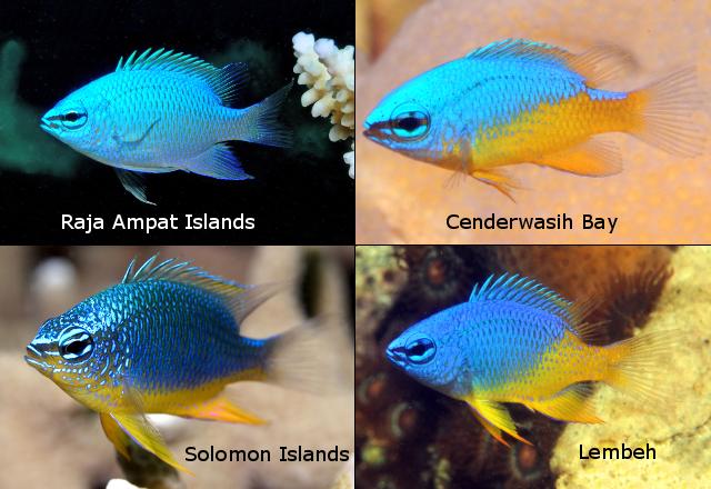 Variation in juvenile C. oxycephala. Credit: Gerry Allen