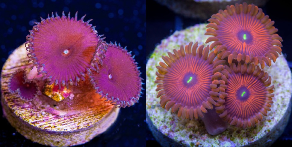 "Which purple ""paly"" is the safer choice? Hint, the one on the right. That on the left may be a colorful variant of cf toxica."