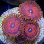 The Dangers (and Myths) of Zoa Toxicity – Part 2