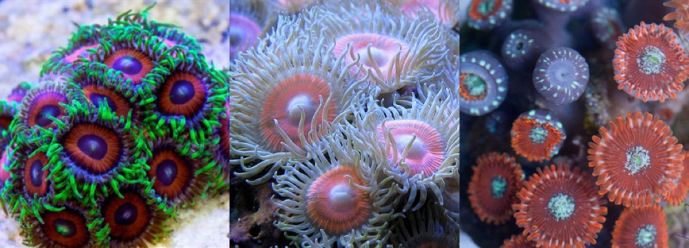 "Common aquarium ""zoas"": Zoanthus sansibaricus, kuroshio & gigantus. Note the white pots of the latter."