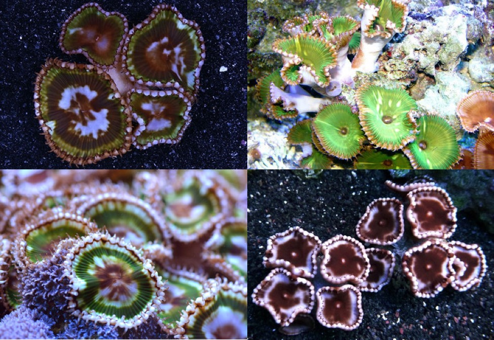 Various patterns in P. grandis. This blotchy, irregular patterning is distinctive for the species.