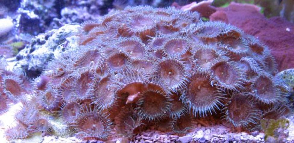 palytoxin-reefs-blog