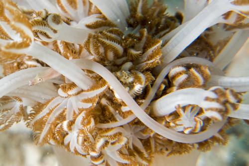 Nieletnia łaciata Xenia Filefish Sioukunichthys herrei Źródło: manboon