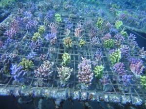 reefs.comMariAcro3