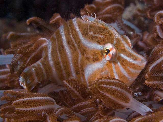 Radial Filefish (Acreichthys radiatus) hanging out in some Xenia. Credit: Doug Anderson