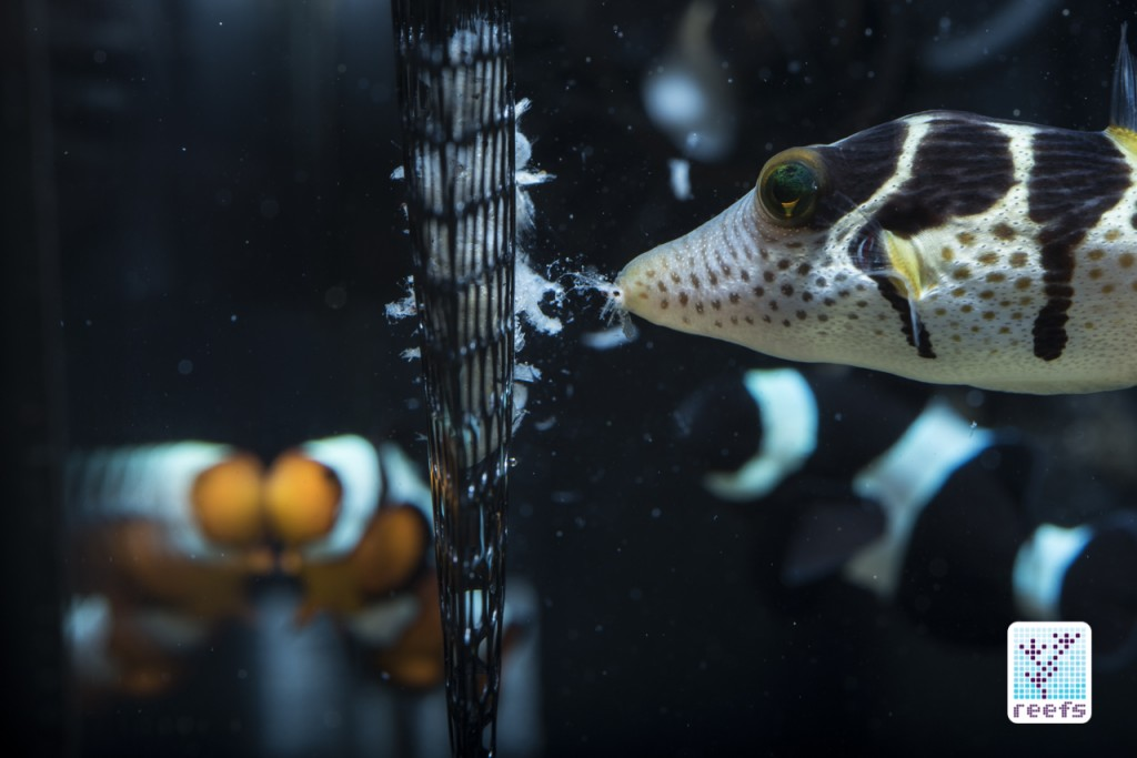 valentini puffer eating from pouchfeeder