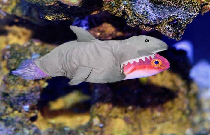 Shark_wrasse