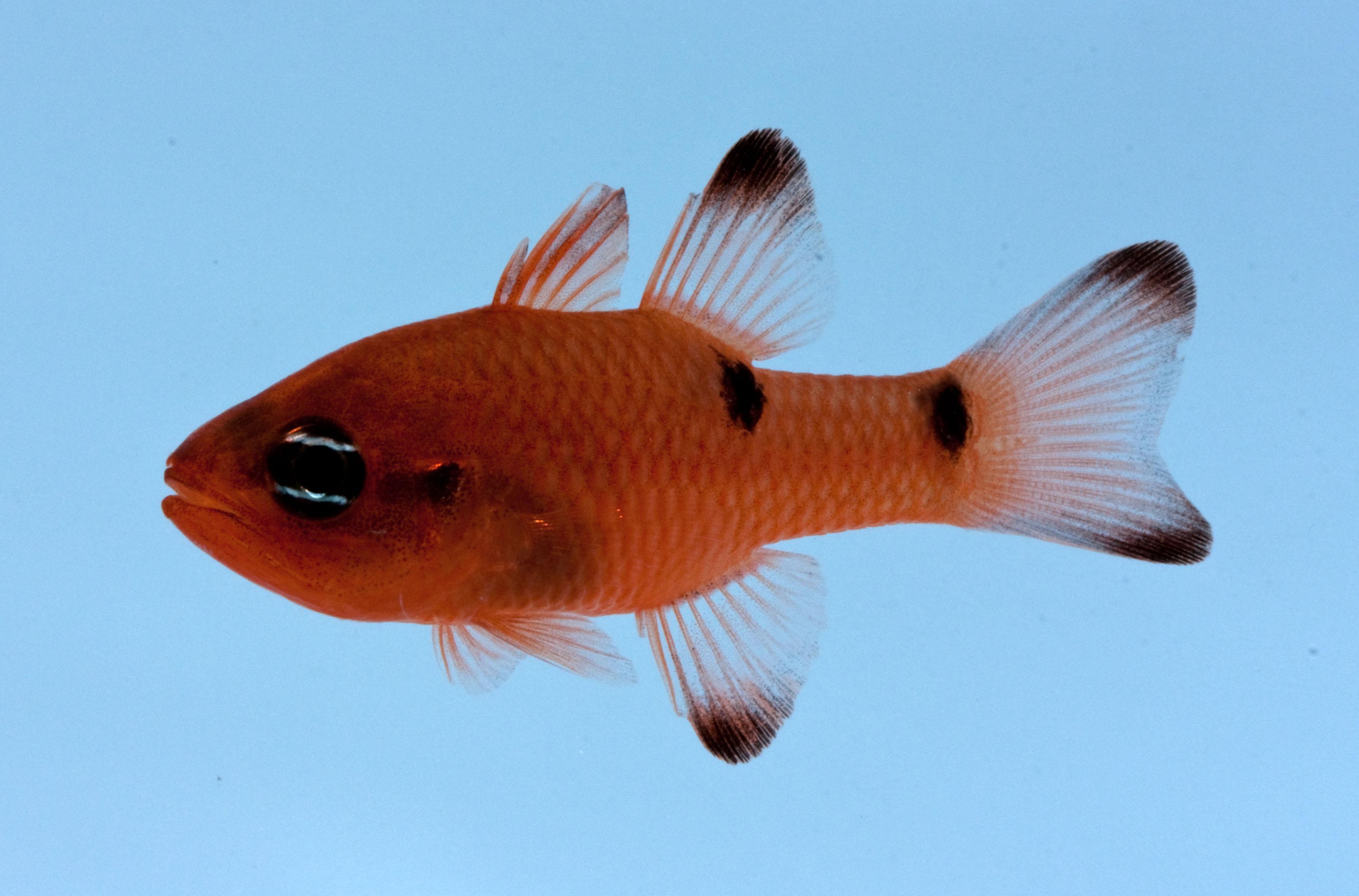 Twospot cardinalfish, Apogon pseudomaculatus