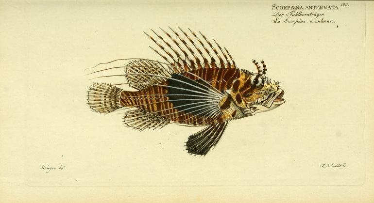 Bloch was first to describe the Antennata Lionfish (Pterois antennata).