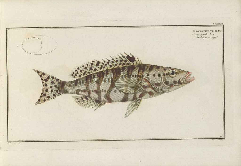 This is the Harlequin Basslet (Serranus tigrinus) of the West Atlantic. Bloch uses the name Holocentrus for it, which we now restrict to certain Squirrelfishes. Taxonomy has come a long way.