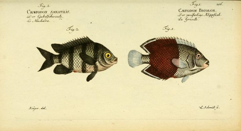 A Seargent Major (Abudefduf saxatilis) and a Bicolor Angelfish (Centropyge bicolor). Note how the colors of the latter are washed out, presumably from preservation in alcohol.