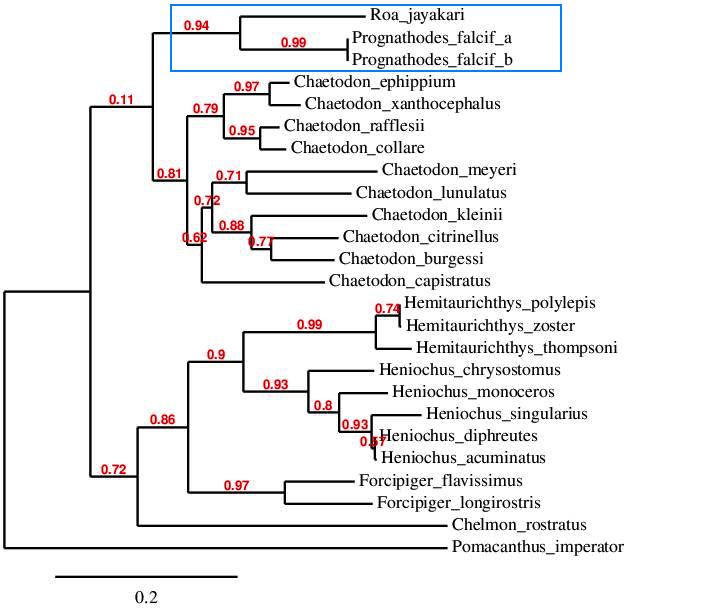 chaetodon phylogeny'