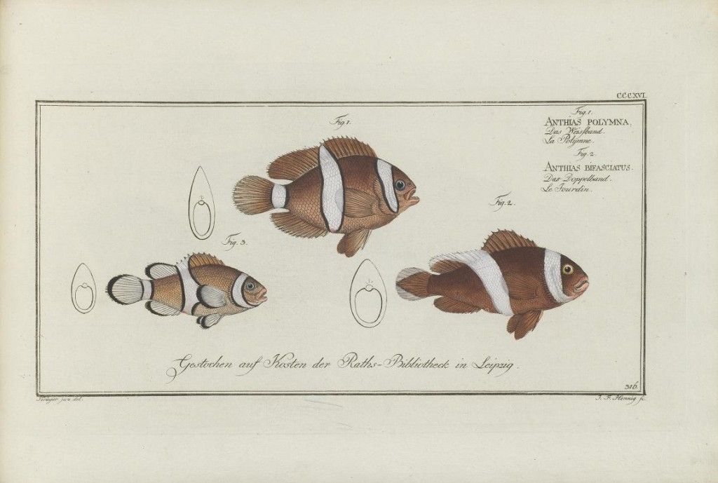 """Note how these clownfishes are classified as """"Anthias"""". Early scientific names often had a completely different meaning than the current usage."""