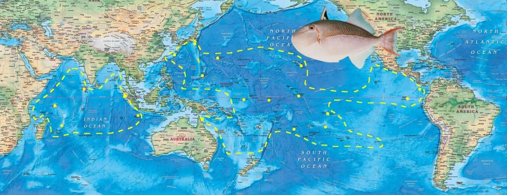 coeruleolineatus map