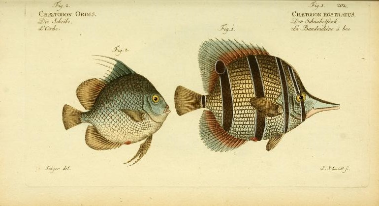 The Orbfish (Ephippus orbis) on the left was described by Bloch, the Copperband Butterflyfish (Chelmon rostratus) on the right was Linnaeus' work.