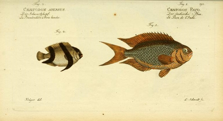 Bloch was the first to describe the beatuiful Sapphire or Peacock Damselfish (Pomacentrus pavo), but it has clearly already lost its color in alcohol. His illustration of Three-stripe Damselfish (Dascyllus aruanus) is a little off, as this fish has a higher body profile.