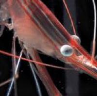 deepwater-shrimp