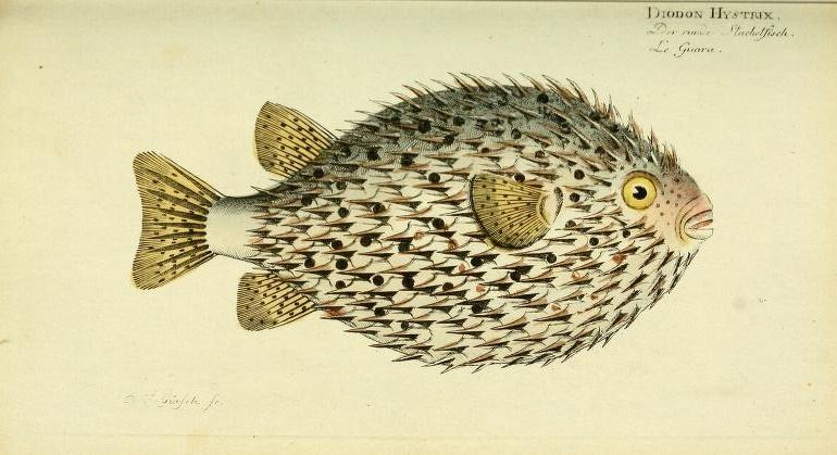 Spot-fin Porcupinefish (Diodon hystrix).