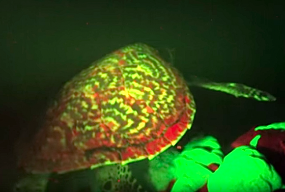 exclusive-glowing-sea-turtle-discovered