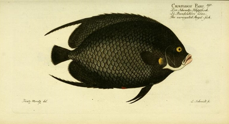 French Angelfish (Pomacanthus paru) is credited to Bloch, as he is the first to depict it in any descriptive sense. The name actually originated in the early work of Forsskål , but without any description of the actual fish.