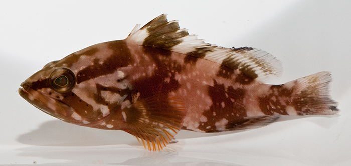 Red Grouper, Epinephelus morio (exhibiting pattern similar to E. striatus.)