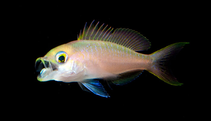 Streamer Bass, Baldwinella aureorubrens.