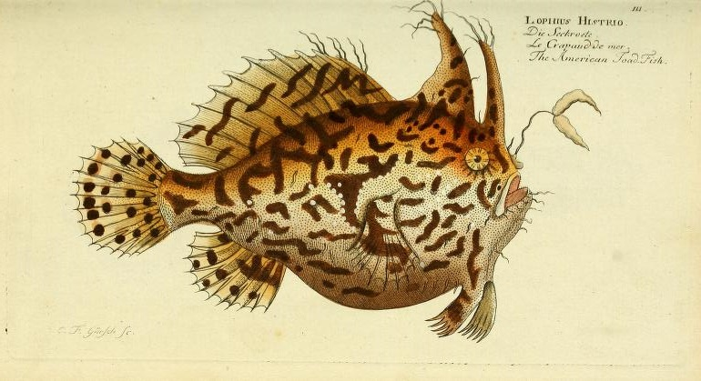 How can you not love this illustration of the Sargassum Anglerfish (Histrio histrio).