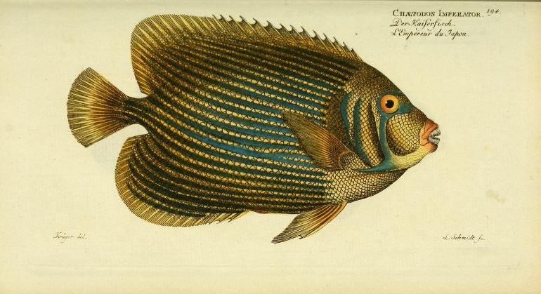 Bloch was the first to scientifically describe and illustrate the familiar Imperator Angelfish.