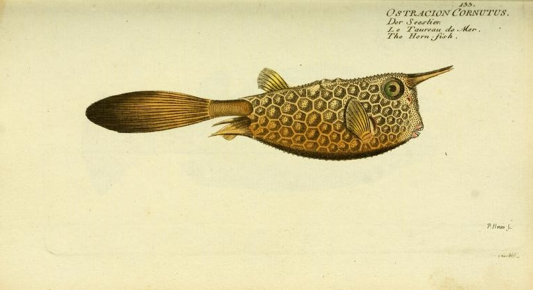 "Long-horned Cowfish (Lactoria cornutus). As bizarre in the 1700's as it is today. I like Bloch's common name of ""Horn-fish"""