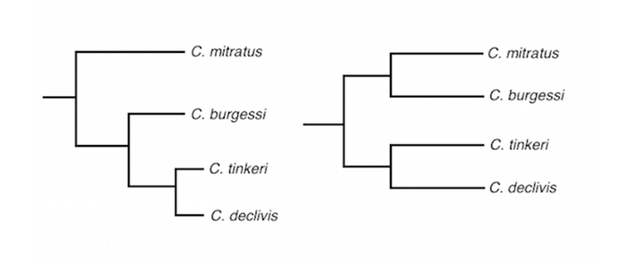 Two proposed phylogenetic relationships of the Roaops subgenus. In the first tree on the left, C. tinkeri and C. declivis are hypothesized as evolutionary derivatives of C. burgessi, which in turn is hypothesized to be the geminate sister of C. mitratus. Although this seems more likely, we cannot be sure if burgessi is more closely related to tinkeri/declivis or mitratus.