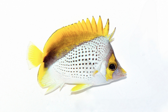 lemon17