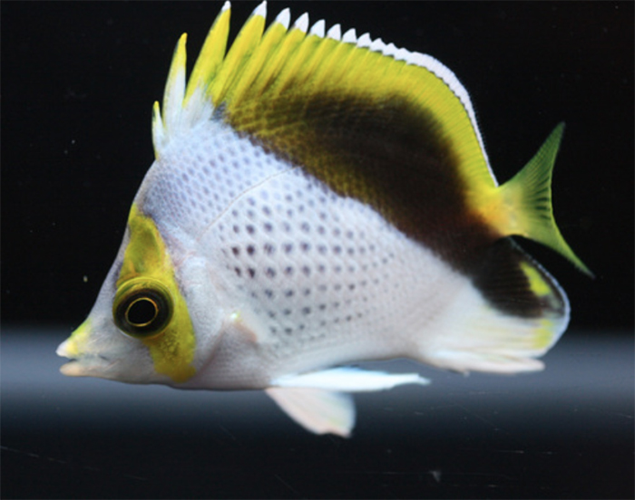 lemon18