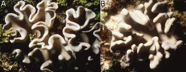 "A) ""Lobophyum"" sarcophytoides B) ""Lobophytom"" batarum. Credit: Dr Yehuda Benayahu"