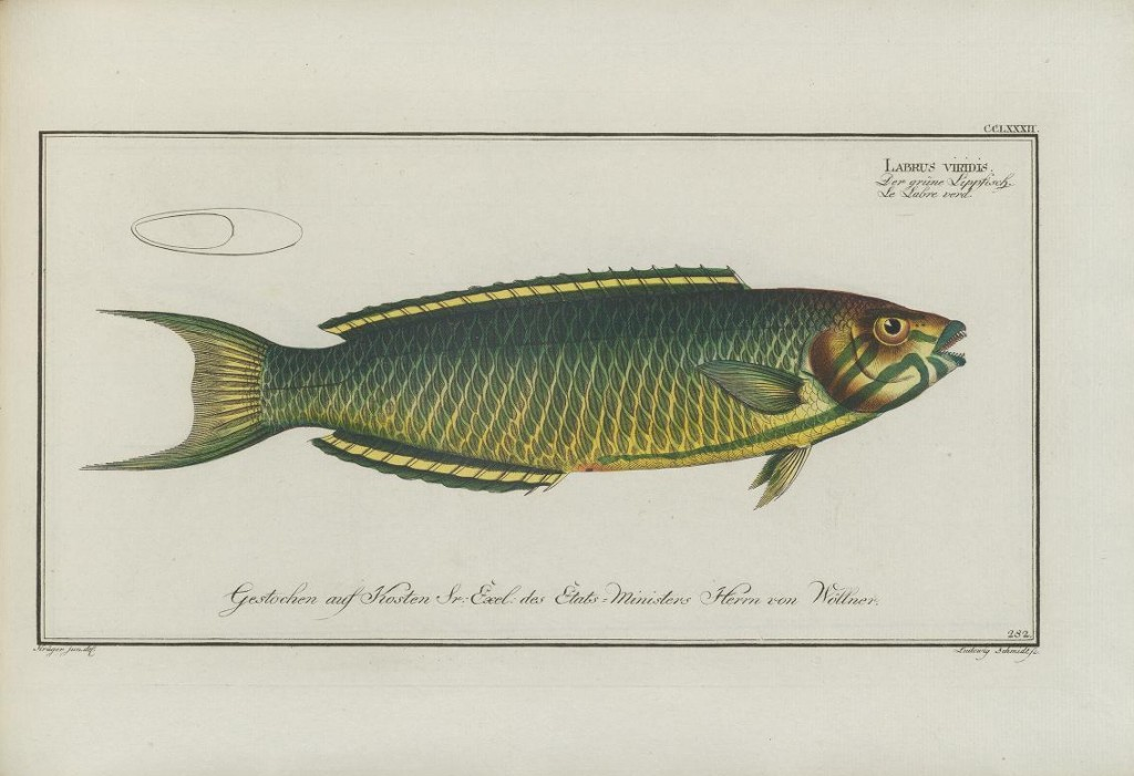 """This is a rather dully illustrated Lunare Wrasse (Thalassoma lunare). Here Bloch classifies it as """"Labrus viridis"""", which Linnaeus had already used for an entirely different Mediterranean wrasse."""