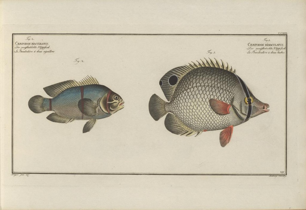 """Bloch didn't quite capture the chromatic splendor of a living Maroon Clownfish (""""Premnas"""" biaculeatus) here, though he still gets credit for describing it first. The fish on the right is the West Atlantic Chaetodon ocellatus, which Bloch did not describe first."""