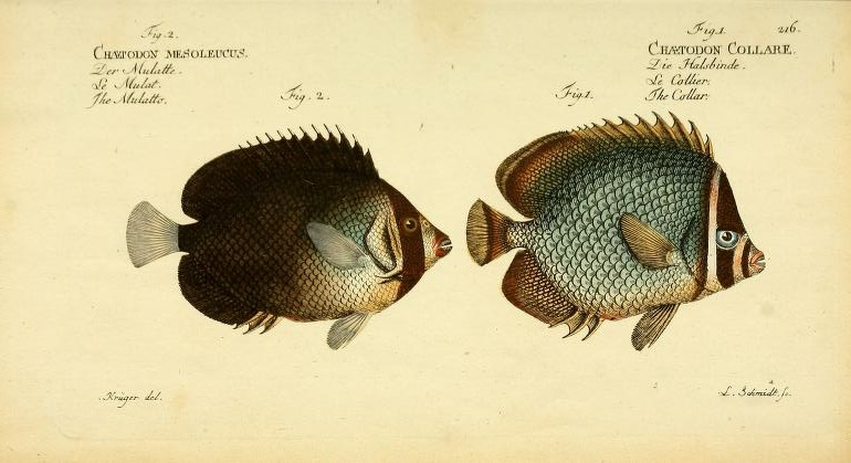"The Singapore or Vermiculated Angelfish (Chaetodontoplus mesoleucus) and the Collared Butterflyfish (Chaetodon collare), both described here by Bloch. Note his amusing common names for these, the ""Mulatto"" and the ""Collar"", respectively."